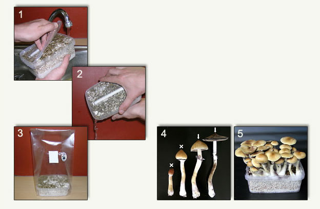 Cubensis Mushroom Growkit