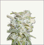 Lowrider auto-flowering marijuana seeds