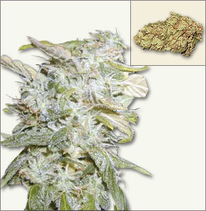 Lowrider Feminized marijuana seeds