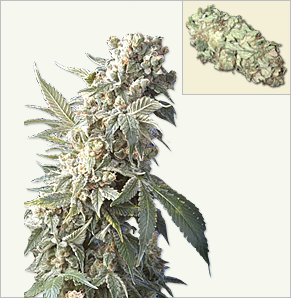 AK 47 XTRM Vrouwelijke Marijuana zaden