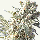AK 47 XTRM feminized cannabis seeds