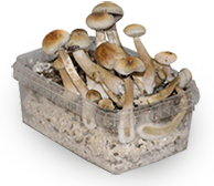 albino magic mushroom grow kit