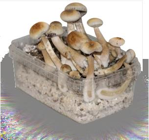 Magic Mushroom Growing Kit: Home-Grown Psychedelics | Elephantos