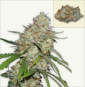 Amnesia otomatik Çiçeklenen tohumlar