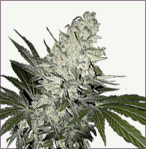 Angelmatic aka Little Angel auto-flowering marijuana seeds