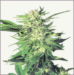 Big Bud marijuana seeds