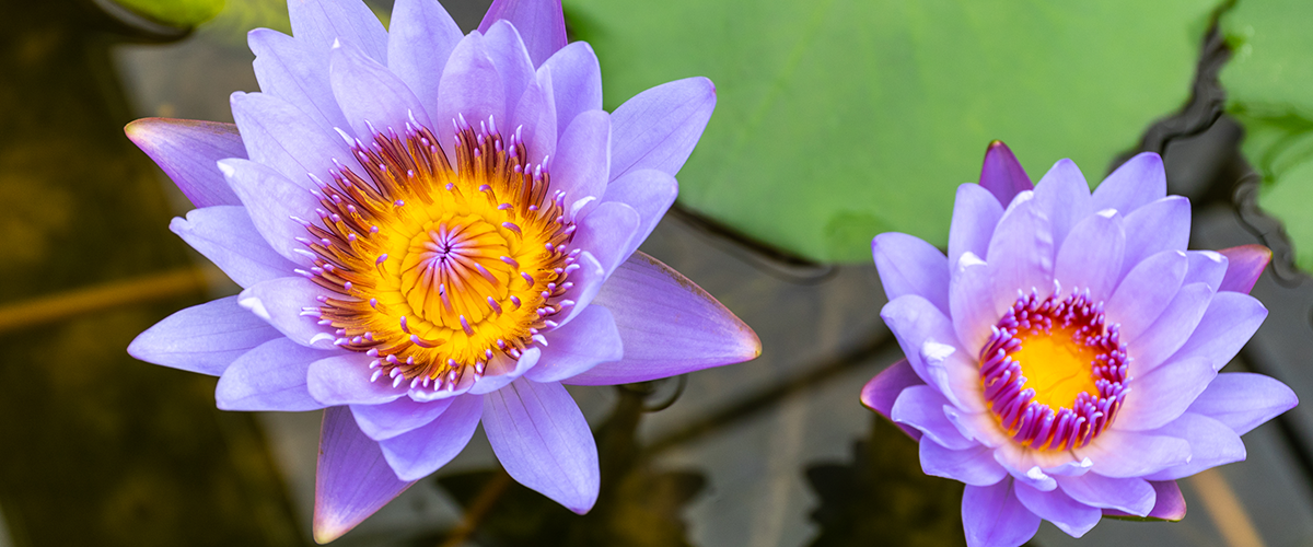 Appearance of the Blue Lotus flower