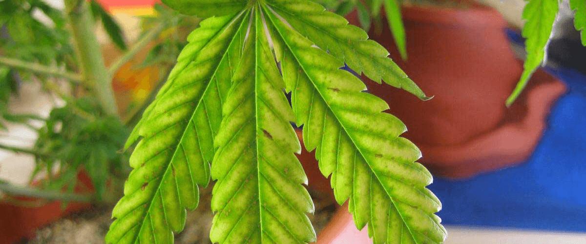 gezonde bladeren