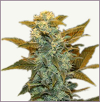 Blueberry mix feminized marijuana seeds