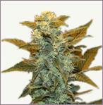 Blueberry mix vrouwelijke marijuana zaden