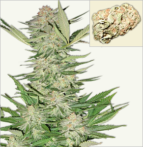 California Special feminized cannabis seeds