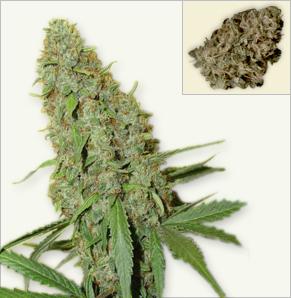 Cheese vrouwelijke marijuana zaden