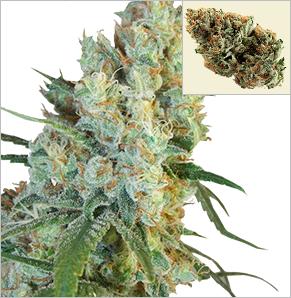 Crystal Coma Vrouwlijke Marijuana Zaden