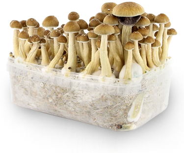 cubensis champignons growkit. Black Bedroom Furniture Sets. Home Design Ideas