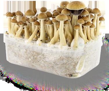 Cubensis champignons growkit - Boite rangement plexi transparent ...