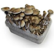 King Cambodia Magic Mushroom grow kit