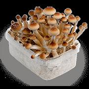 Mushroom Mycelium Box