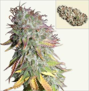 Kush Kush feminized cannabis seeds