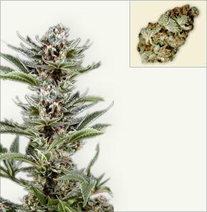 Cyclone vrouwelijke marijuana zaden