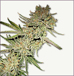 Devilmatic aka Little Devil Autoflowering marijuana seeds