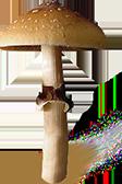 Psilocybe Cubensis Equador spores print