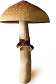 Psilocybe Cubensis Equador sporen print