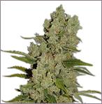 Crystal Mist feminized cannabis seeds