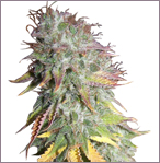 Kush Kush feminized cannabis seeds