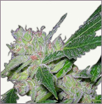 Afghan feminized marijuana seeds