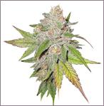 Cheese Special vrouwelijke marijuana zaden