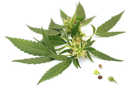 semillas de marijuana gratis