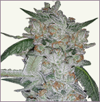 Girl Scout Cookies Feminized Marijuana Seeds