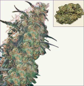 Haze19xSkunk feminized cannabis seeds