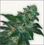 Jack Herer auto-flowering marijuana seeds