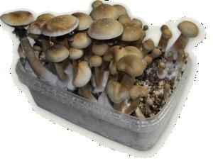 King Cambodia Magic Mushroom grow kit