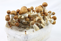 harvest the magic mushroom growkit