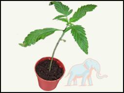 marihuanaplant van 15cm lang