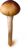psilocybe cubensis mazatapec spores print