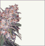 Misty feminized marijuana seeds