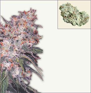 Misty vrouwelijke marijuana zaden