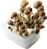 magic mushroom growkits for sale