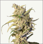New York Diesel auto-flowering feminized cannabis seeds