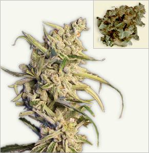 New York Diesel auto-flowering feminized cannabis seeds