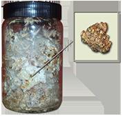 philosopher's stones growkit (psilocybe tampanensis)