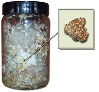 philosopher's stones kweekset (psilocybe tampanensis)
