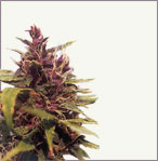 Purple Power marijuana graines