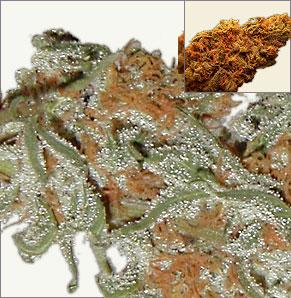 Skunk Redhair cannabis zaden
