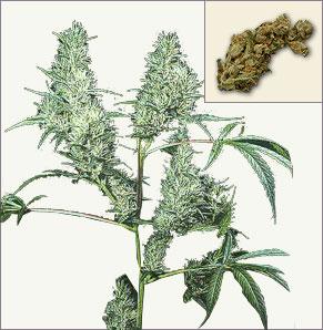 Silver Haze marijuana seeds