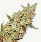 Skunk Power Plant feminized marijuana seeds