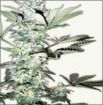 Snow White marijuana seeds